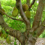 A jackfruit tree