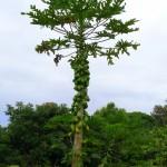 Loaded papaya tree