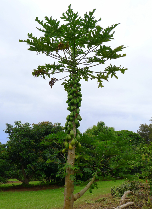 Loaded Papaya Tree Alain Gayot Photos Gallery
