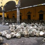 Agave Harvest at the Jose Cuervo Distillery in Tequila