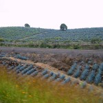 Weber Blue Agave Fields near Tequila, Jalisco